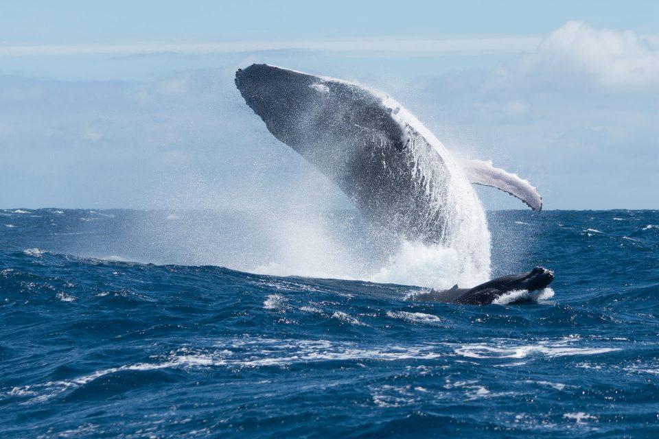 Baleine à bosse avec sa progéniture, effectuant des sauts de dissuasion pour éloigner les mâles